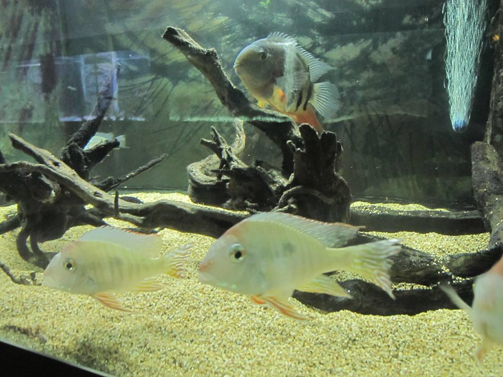 Il mondo dei pesci di acqua dolce nel grande acquario di for Pesci acqua dolce commestibili